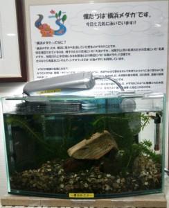 横浜メダカ